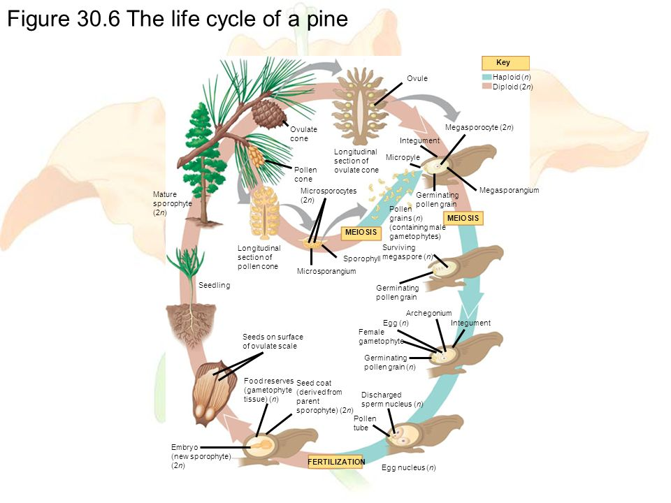 Figure 30.6 The life cycle of a pine FERTILIZATION Seed coat (derived from parent sporophyte) (2n) Food reserves (gametophyte tissue) (n) Embryo (new sporophyte) (2n) Seeds on surface of ovulate scale Seedling MEIOSIS Surviving megaspore (n) Germinating pollen grain Archegonium IntegumentEgg (n) Female gametophyte Germinating pollen grain (n) Discharged sperm nucleus (n) Pollen tube Egg nucleus (n) Ovule Key Haploid (n) Diploid (2n) Megasporocyte (2n) Integument Longitudinal section of ovulate cone Ovulate cone Pollen cone Mature sporophyte (2n) Longitudinal section of pollen cone Microsporocytes (2n) Pollen grains (n) (containing male gametophytes) Micropyle Germinating pollen grain Megasporangium MEIOSIS Sporophyll Microsporangium