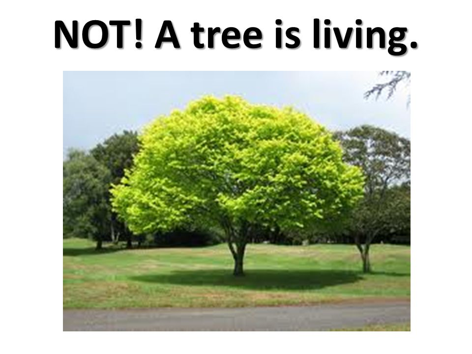 NOT! A tree is living.