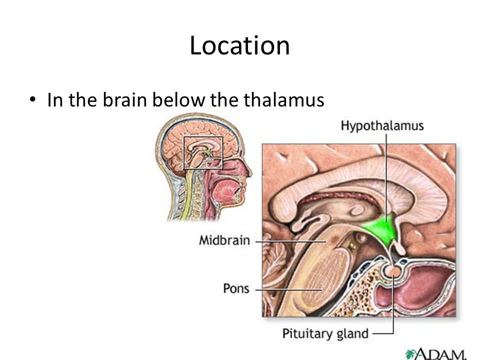 Hypothalamus Nicolette Cefai And Malia Bybee Location In The Brain