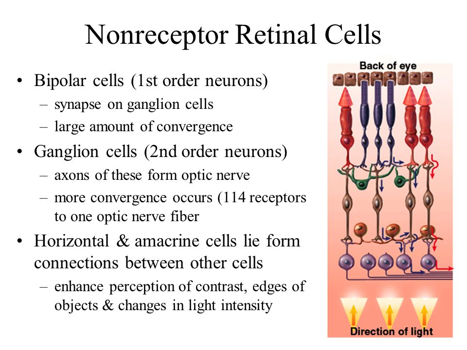 eye and cells olfactory neurons Neuron structure and classification neurons exceptions to this rule are found in olfactory neurons these are found in the retina of the eye and the olfactory.