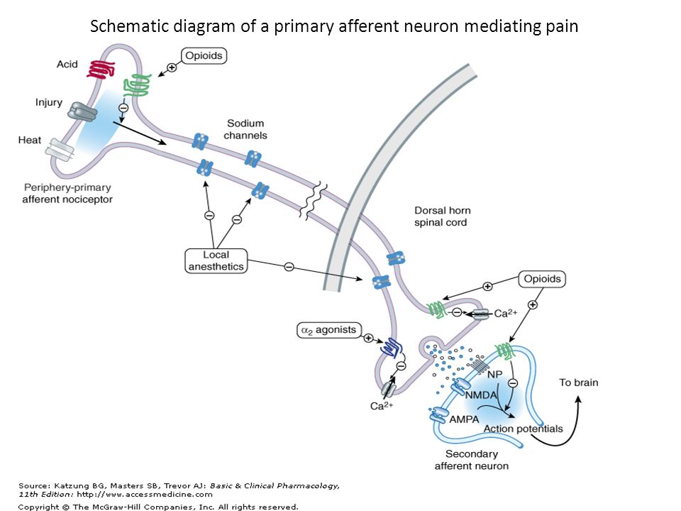 Local anesthetics by shlooli phd schematic diagram of a primary 2 schematic diagram of a primary afferent neuron mediating pain ccuart Gallery