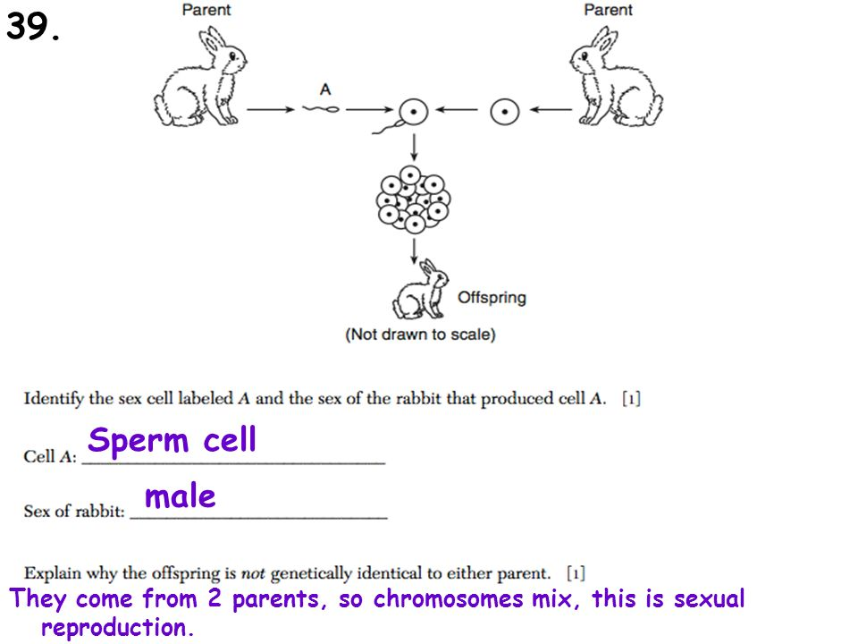 Sperm cell male They come from 2 parents, so chromosomes mix, this is sexual reproduction. 39.