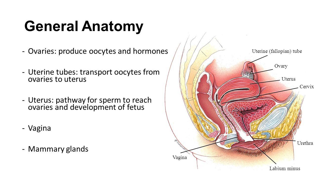 Female anatomy ovaries