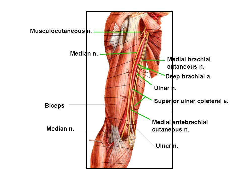 Beste N. Musculocutaneus Fotos - Menschliche Anatomie Bilder ...
