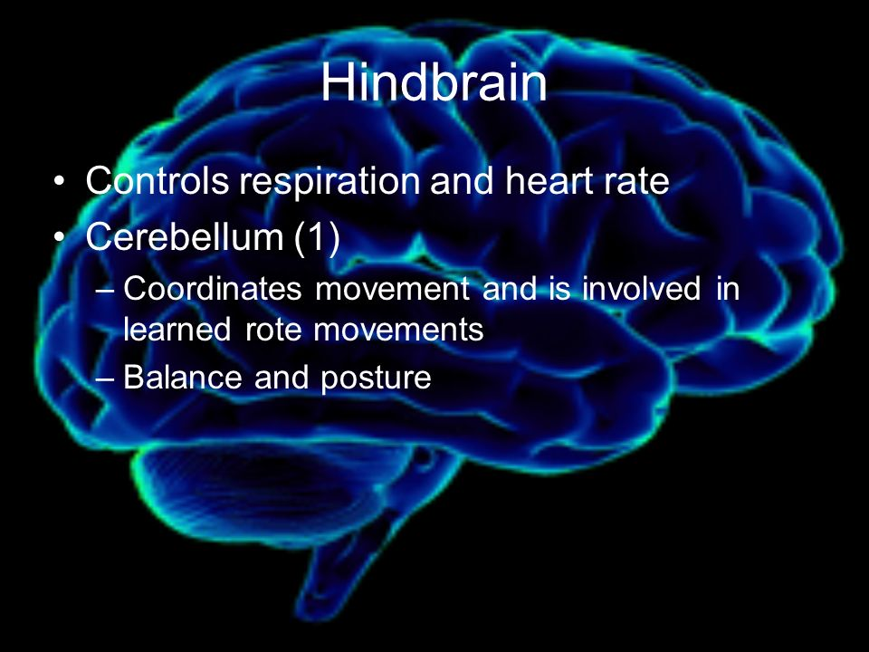 Hindbrain Controls respiration and heart rate Cerebellum (1) –Coordinates movement and is involved in learned rote movements –Balance and posture