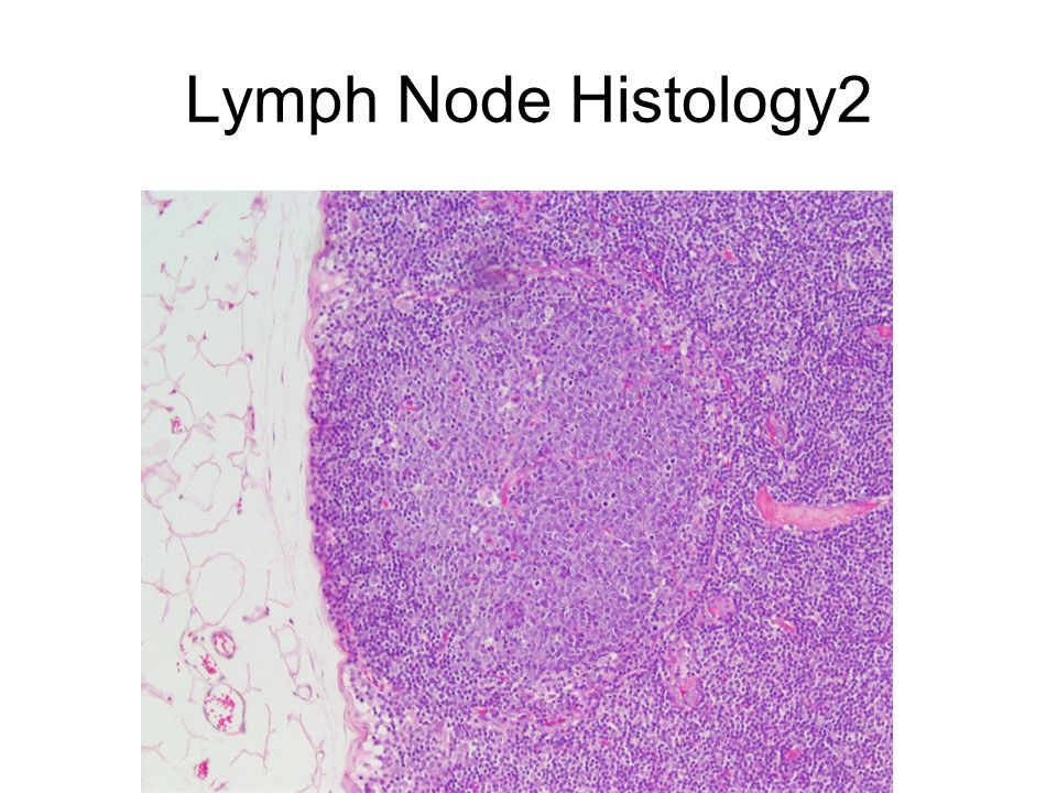Lymph Node Histology2