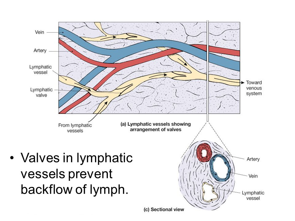 Valves in lymphatic vessels prevent backflow of lymph.