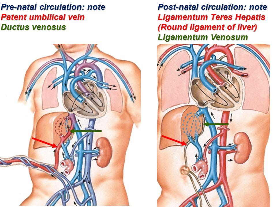 Umbilical vein anatomy 2975810 - follow4more.info