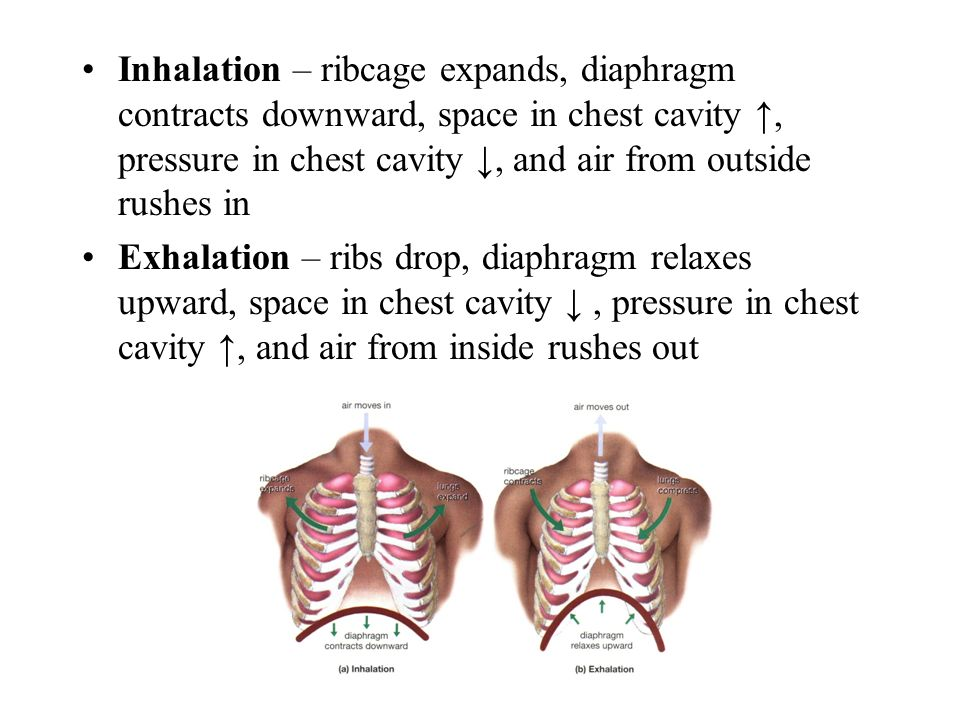 Inhalation – ribcage expands, diaphragm contracts downward, space in chest cavity ↑, pressure in chest cavity ↓, and air from outside rushes in Exhalation – ribs drop, diaphragm relaxes upward, space in chest cavity ↓, pressure in chest cavity ↑, and air from inside rushes out