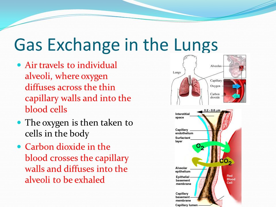 Gas Exchange in the Lungs Air travels to individual alveoli, where oxygen diffuses across the thin capillary walls and into the blood cells The oxygen is then taken to cells in the body Carbon dioxide in the blood crosses the capillary walls and diffuses into the alveoli to be exhaled