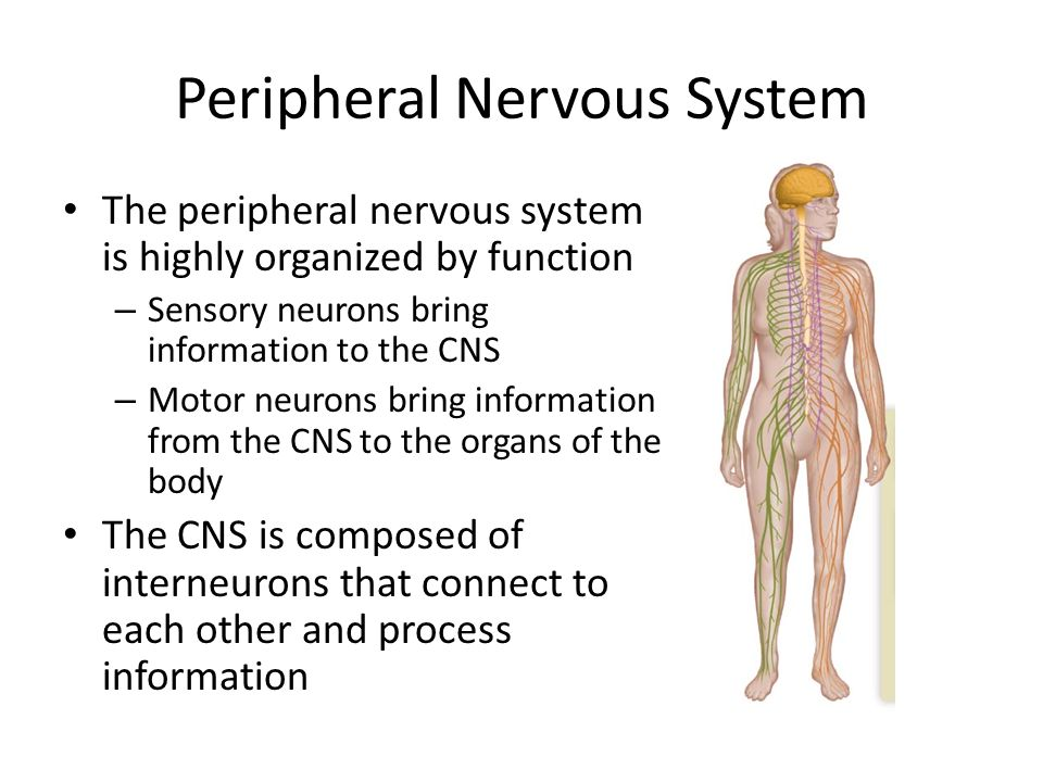 The Nervous System Part 2 By The End Of This Class You Should