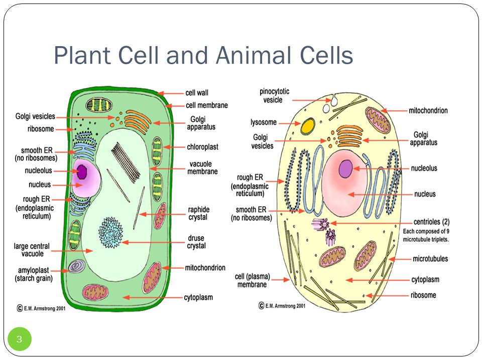 animal and plant cell conclusion Plant vs animal cells the purpose of this experiment is to determine the difference between plant and animal cells hypothesis conclusion based on the.