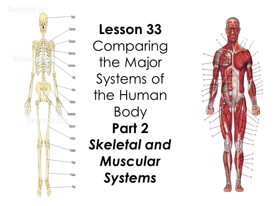Lesson 33 Comparing The Major Systems Of The Human Body Part 2