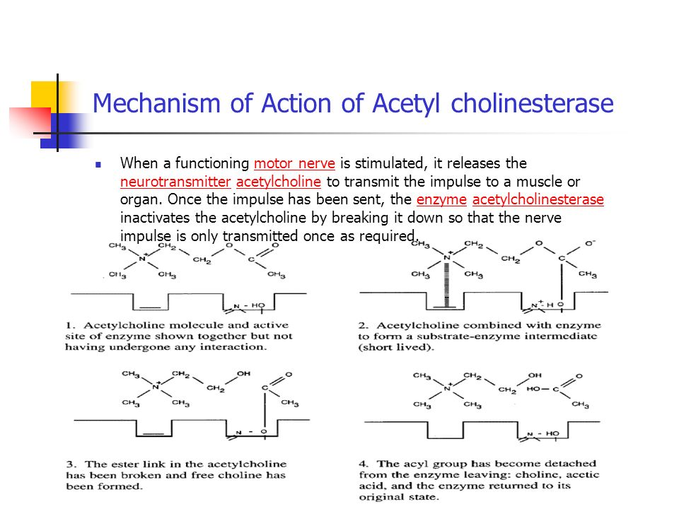 Mechanism of Action of Acetyl cholinesterase When a functioning motor nerve is stimulated, it releases the neurotransmitter acetylcholine to transmit the impulse to a muscle or organ.