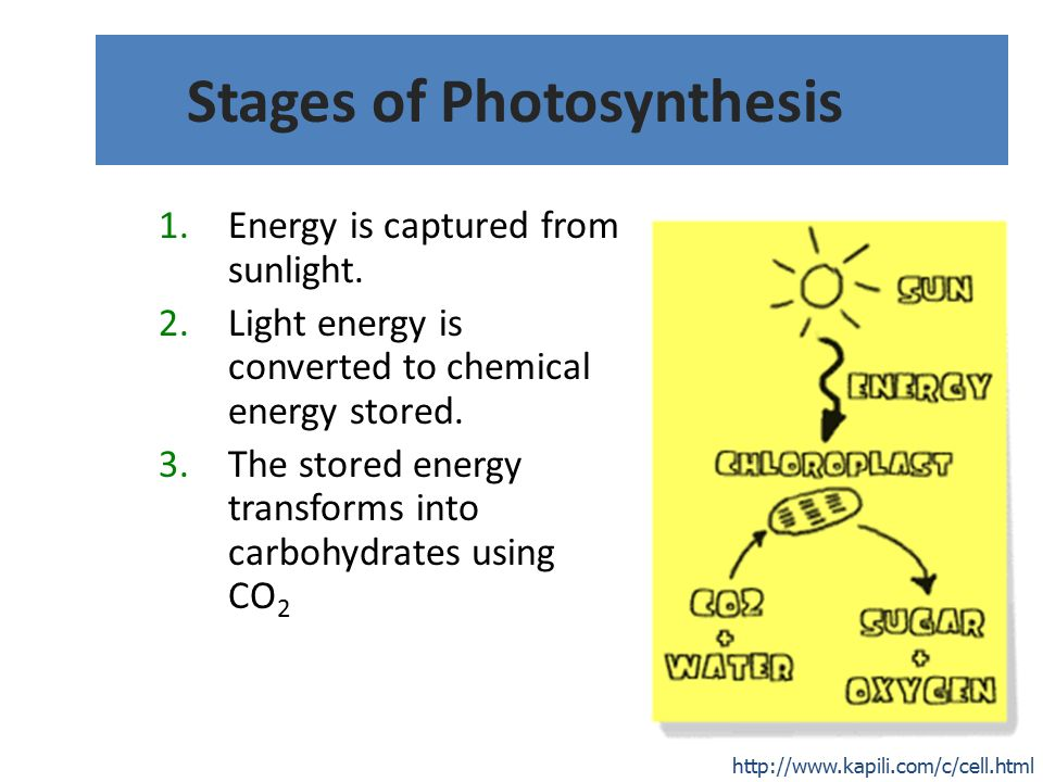 Stages of Photosynthesis 1.Energy is captured from sunlight.