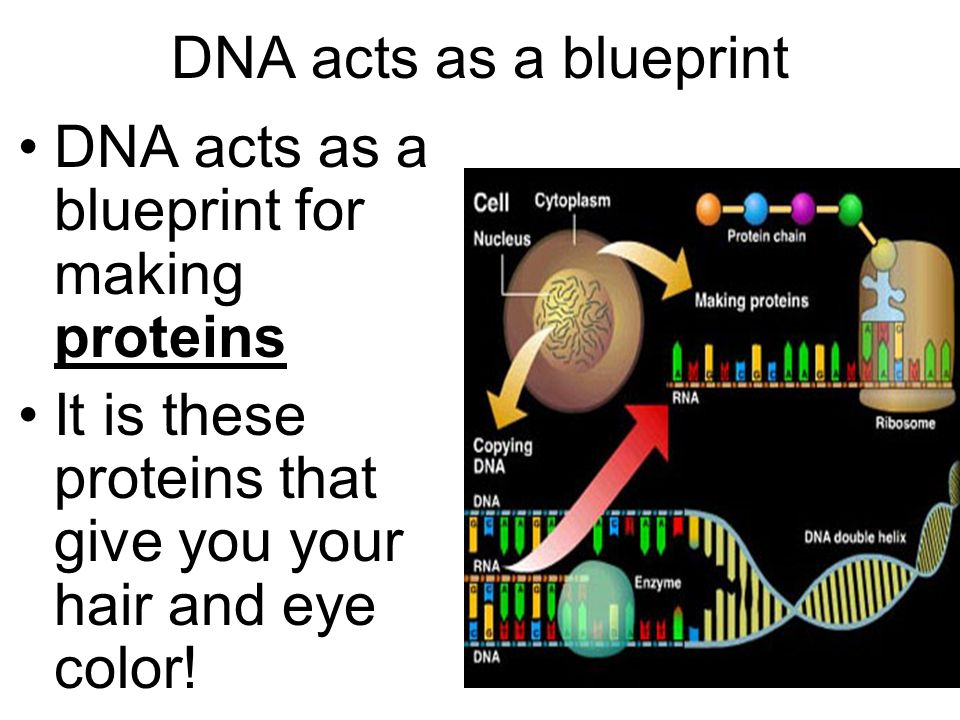 Problem How do we go from DNA to individual traits