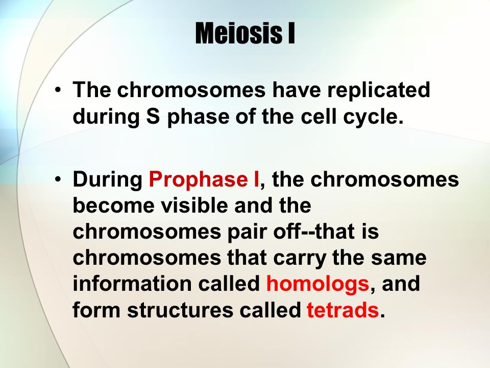Meiosis I The chromosomes have replicated during S phase of the cell cycle.