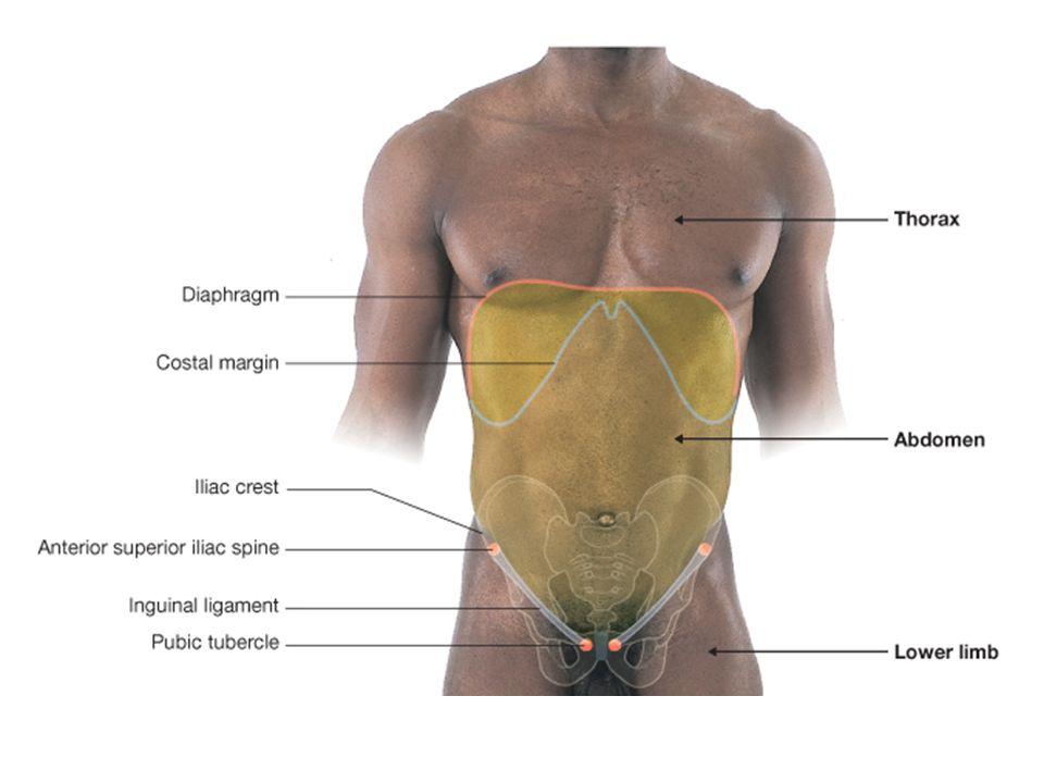 Fancy Anterior Superior Iliac Spine Surface Anatomy Ideas - Human ...