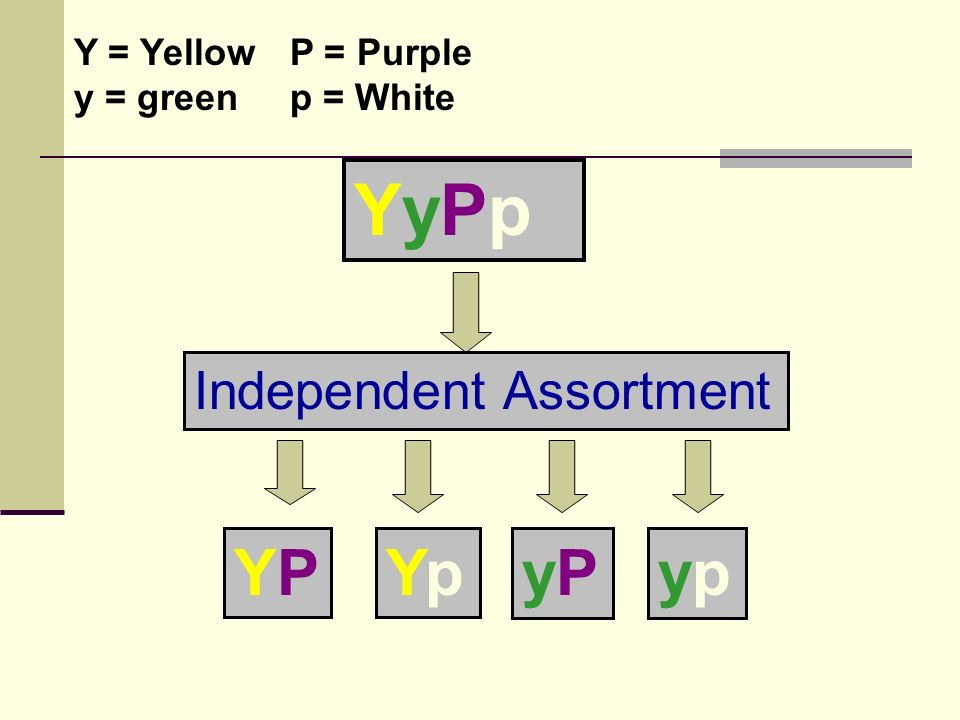 YyPpYyPp Independent Assortment YPYPYpYp yPyPypyp Y = Yellow y = green P = Purple p = White