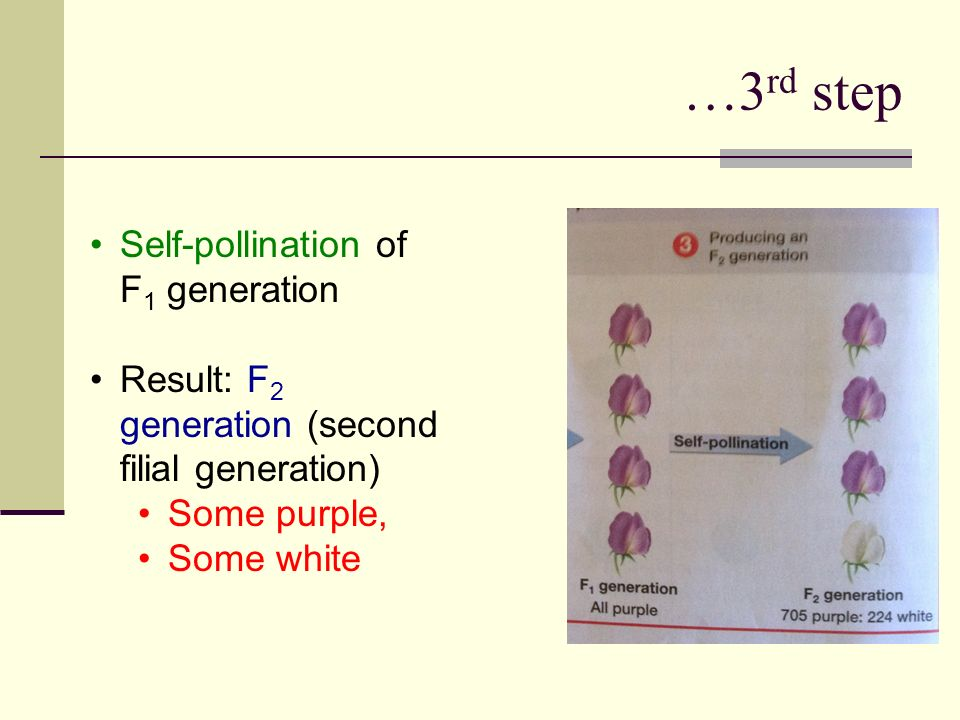…3 rd step Self-pollination of F 1 generation Result: F 2 generation (second filial generation) Some purple, Some white