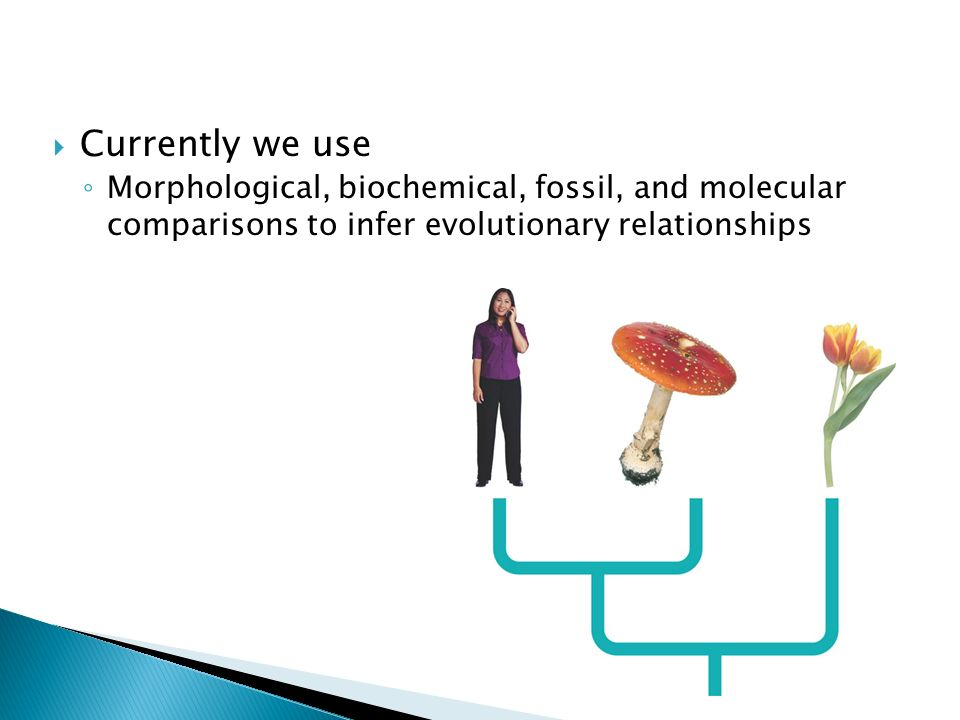  Currently we use ◦ Morphological, biochemical, fossil, and molecular comparisons to infer evolutionary relationships