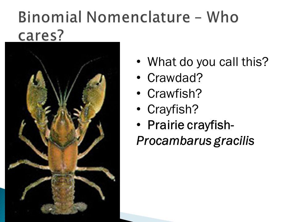 What do you call this? Crawdad? Crawfish? Crayfish? Prairie crayfish- Procambarus gracilis