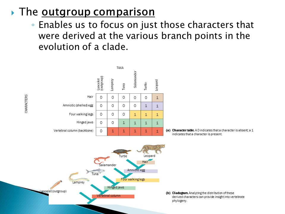  The outgroup comparison ◦ Enables us to focus on just those characters that were derived at the various branch points in the evolution of a clade.