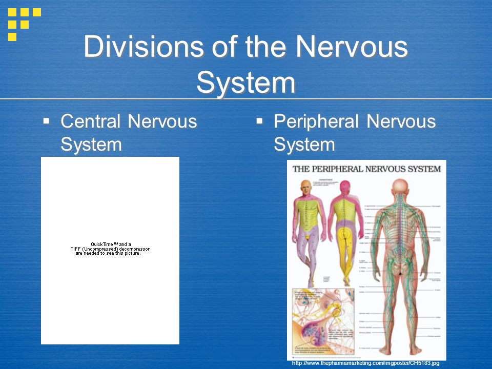 Divisions of the Nervous System  Central Nervous System  Peripheral Nervous System