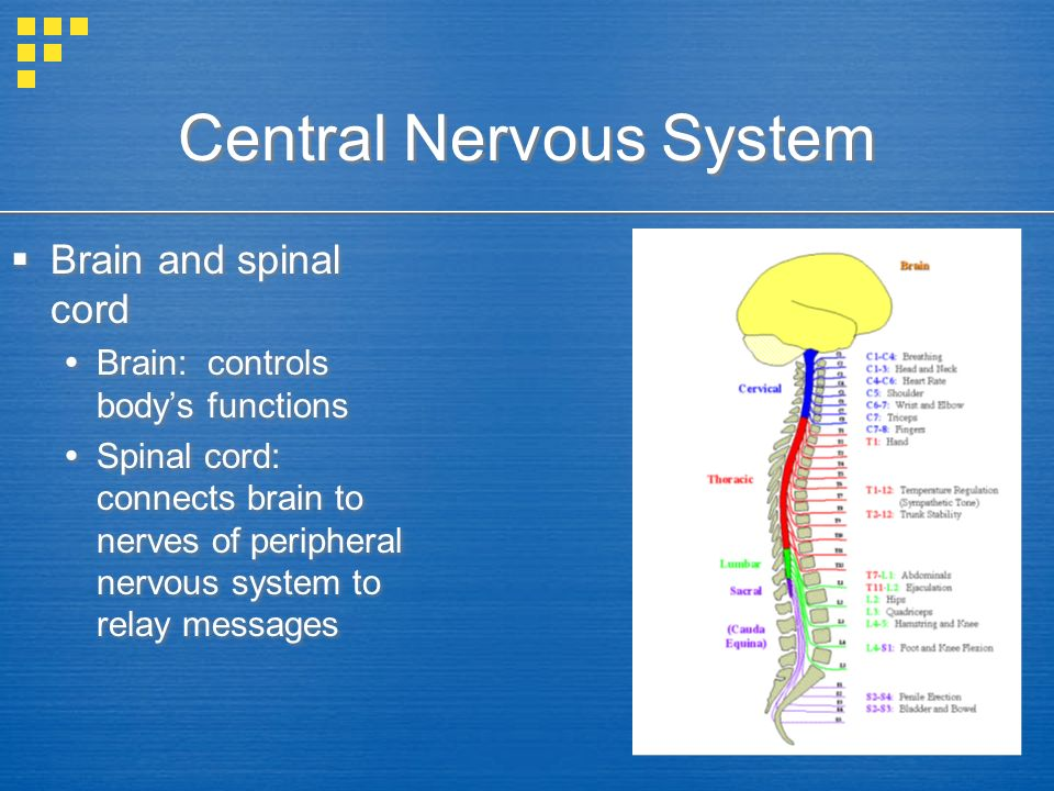 Central Nervous System  Brain and spinal cord  Brain: controls body's functions  Spinal cord: connects brain to nerves of peripheral nervous system to relay messages