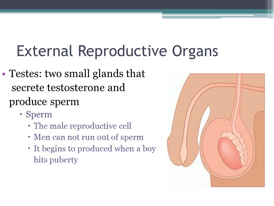 External Reproductive Organs Testes: two small glands that secrete testosterone and produce sperm  Sperm  The male reproductive cell  Men can not run out of sperm  It begins to produced when a boy hits puberty