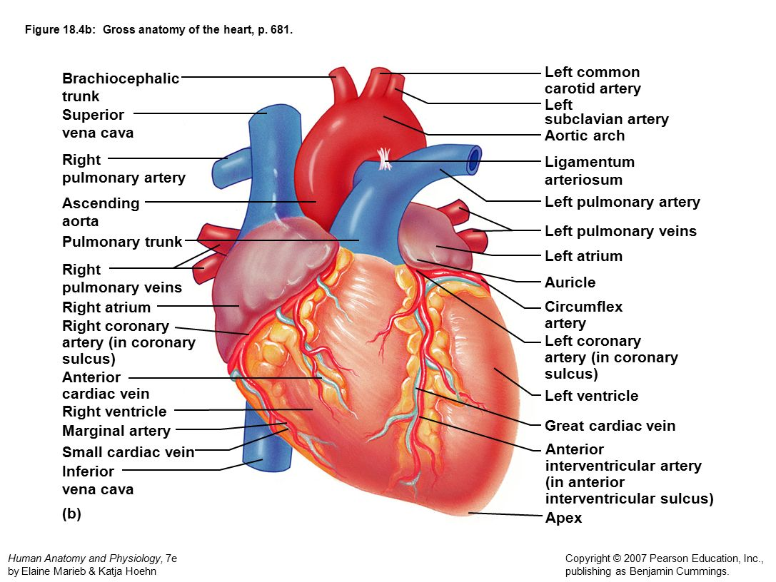 Chapter 18: Cardiovascular System: The Heart. Dr. Norman E. Shumway ...