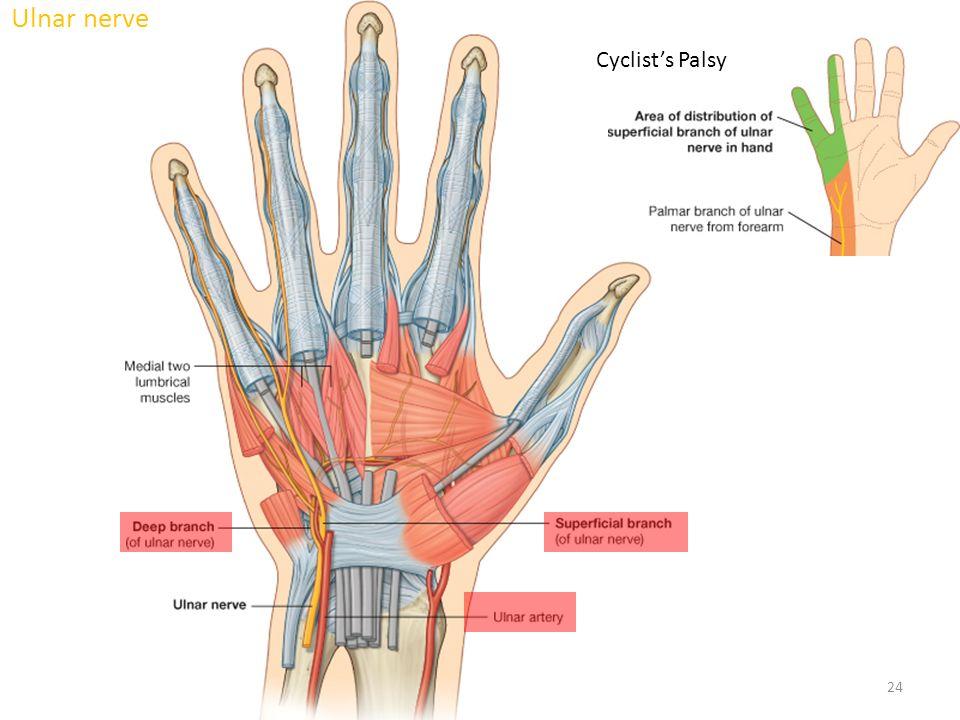 Colorful Anatomy Of The Ulnar Nerve Embellishment - Human Anatomy ...