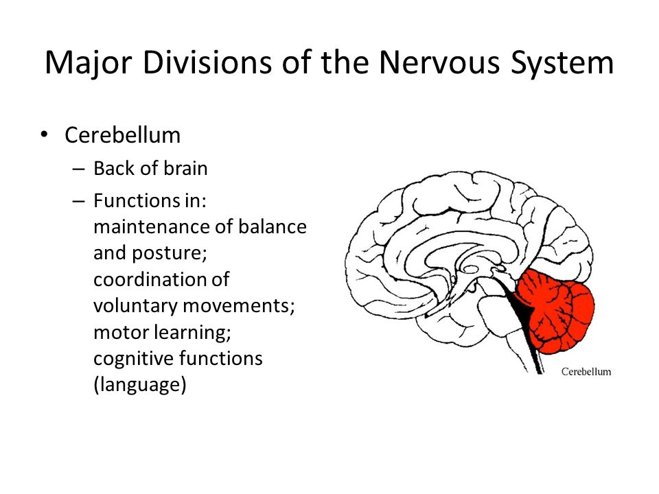 Major Divisions of the Nervous System Cerebellum – Back of brain – Functions in: maintenance of balance and posture; coordination of voluntary movements; motor learning; cognitive functions (language)