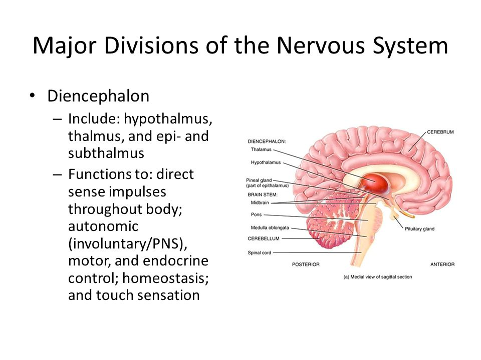 Major Divisions of the Nervous System Diencephalon – Include: hypothalmus, thalmus, and epi- and subthalmus – Functions to: direct sense impulses throughout body; autonomic (involuntary/PNS), motor, and endocrine control; homeostasis; and touch sensation