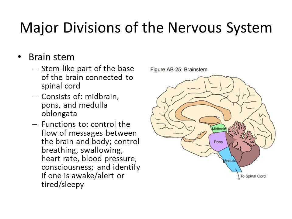Major Divisions of the Nervous System Brain stem – Stem-like part of the base of the brain connected to spinal cord – Consists of: midbrain, pons, and medulla oblongata – Functions to: control the flow of messages between the brain and body; control breathing, swallowing, heart rate, blood pressure, consciousness; and identify if one is awake/alert or tired/sleepy