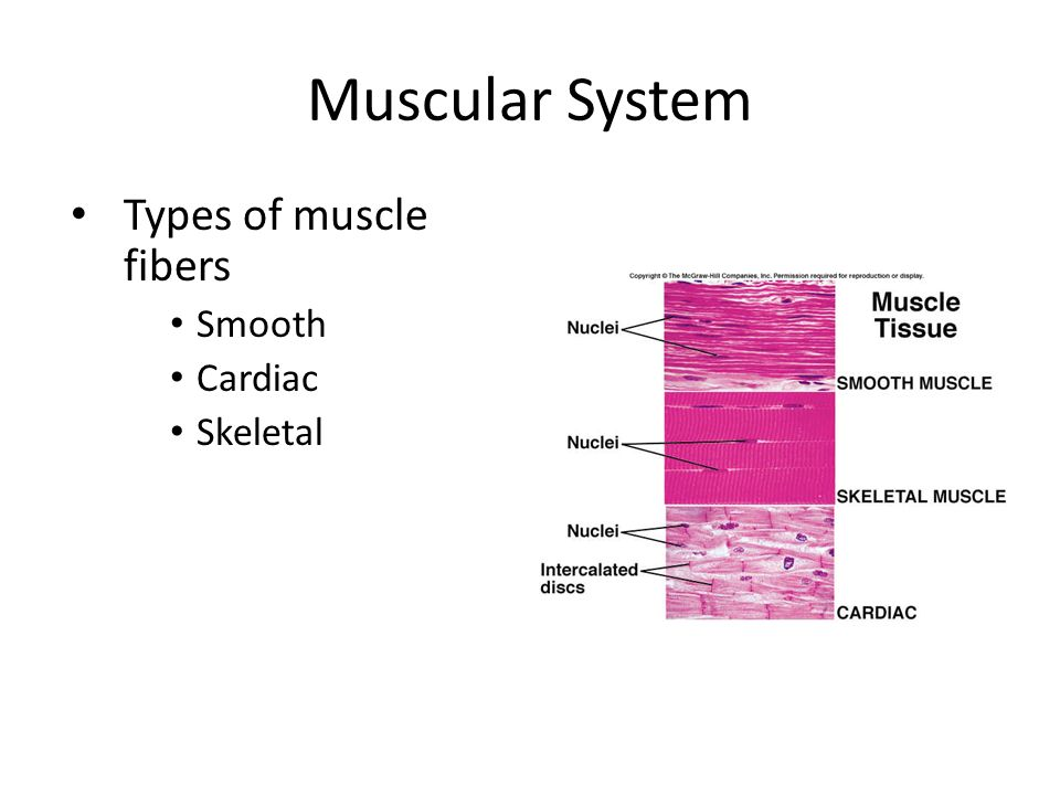 Muscular System Types of muscle fibers Smooth Cardiac Skeletal