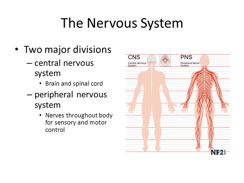 The Nervous System Two major divisions – central nervous system Brain and spinal cord – peripheral nervous system Nerves throughout body for sensory and motor control