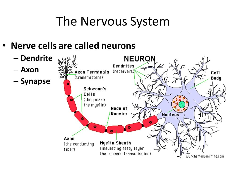 The Nervous System Nerve cells are called neurons – Dendrite – Axon – Synapse