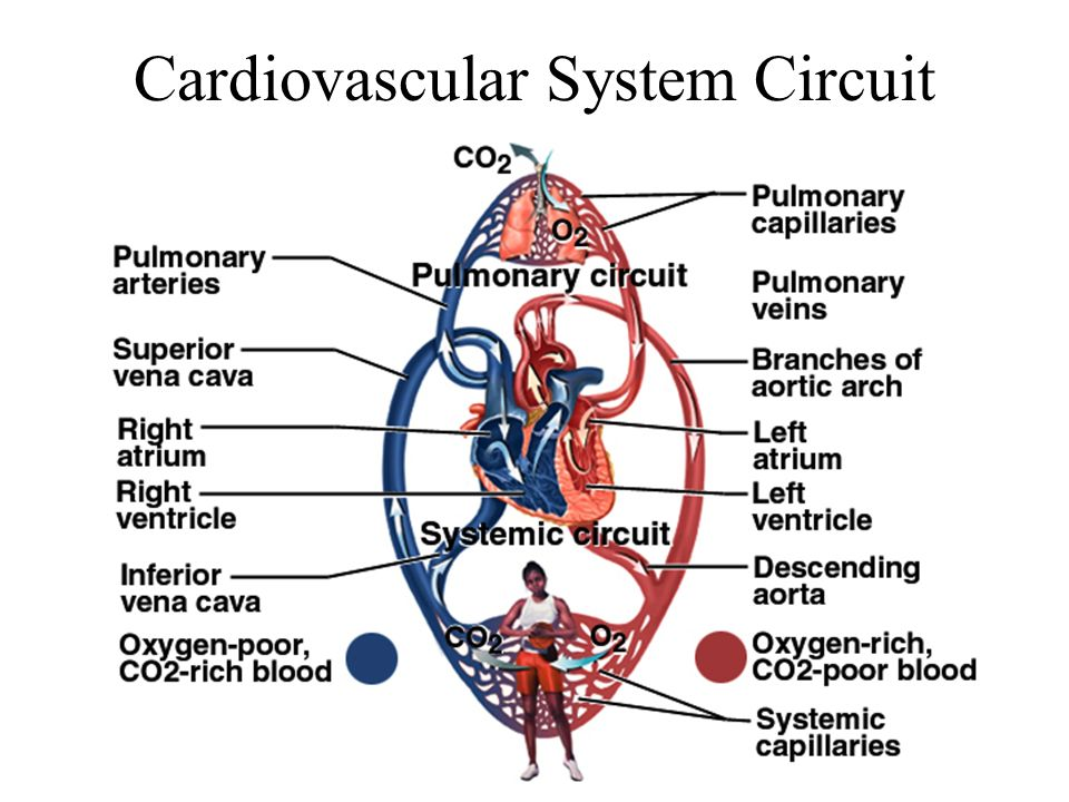 Chapter 19 The Heart Circulatory System Heart Blood Vessels And