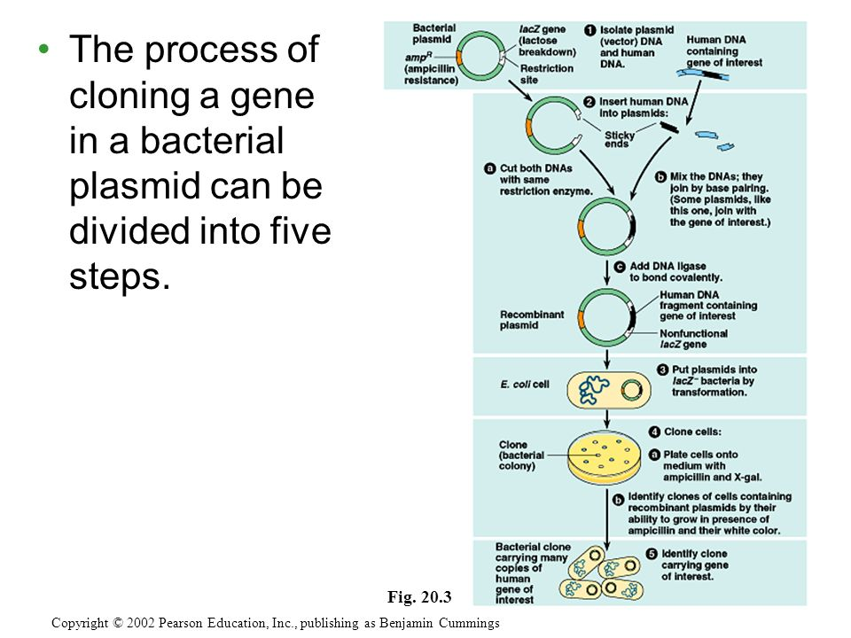 The process of cloning a gene in a bacterial plasmid can be divided into five steps.