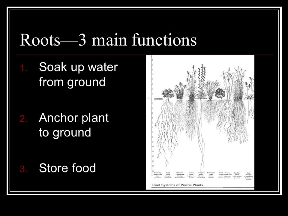 Roots—3 main functions 1. Soak up water from ground 2. Anchor plant to ground 3. Store food