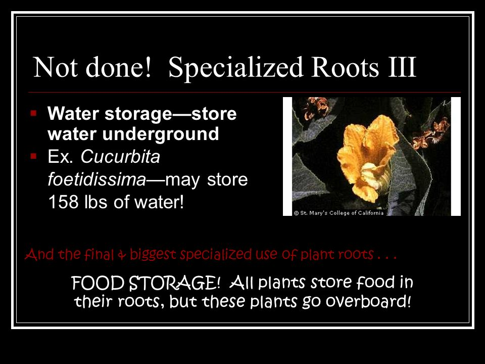 Not done. Specialized Roots III And the final & biggest specialized use of plant roots...