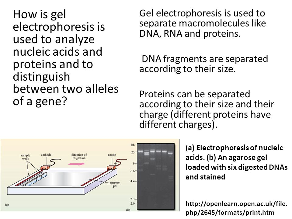 using gel electrophoresis to study dna conclusion To be able to make and agarose gel and perform gel electrophoresis in six of extracted dna by using agarose gel electrophoresis us to study dna.