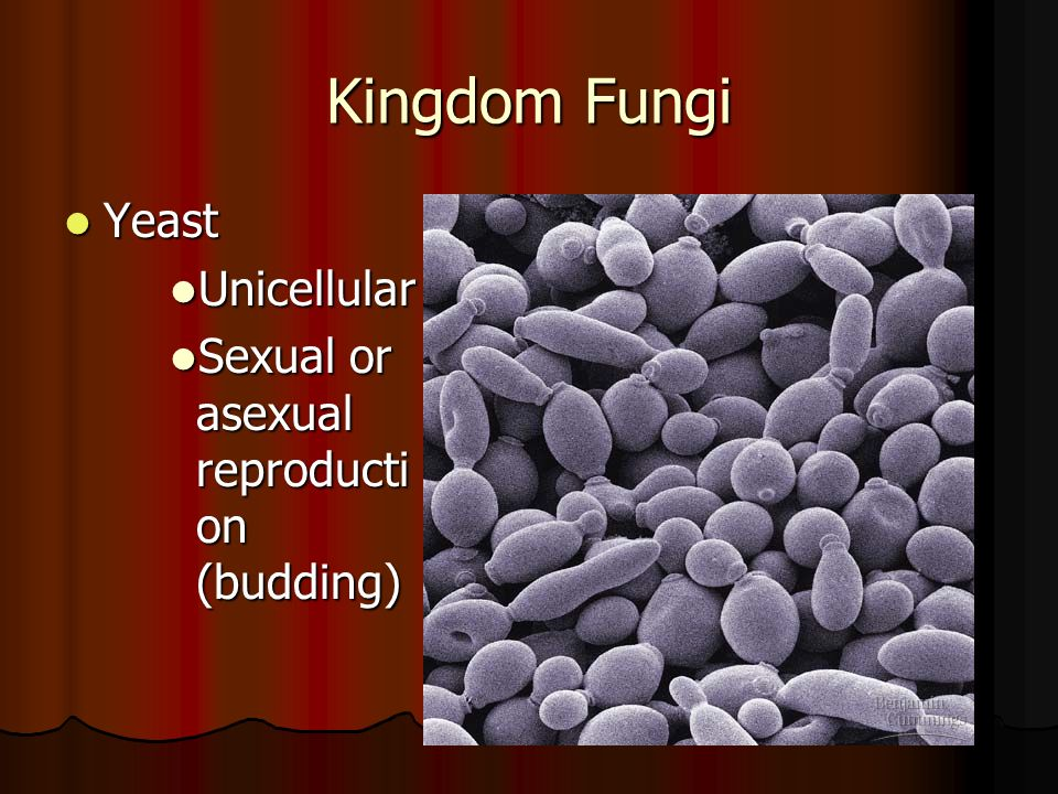 Kingdom Fungi Yeast Yeast Unicellular Unicellular Sexual or asexual reproducti on (budding) Sexual or asexual reproducti on (budding)
