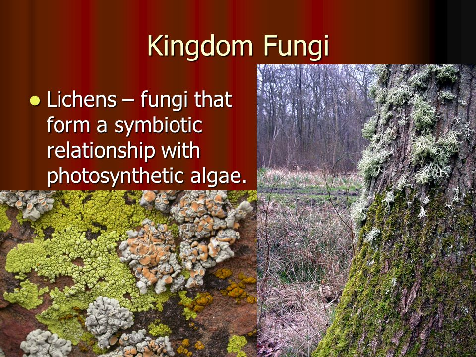 Kingdom Fungi Lichens – fungi that form a symbiotic relationship with photosynthetic algae.
