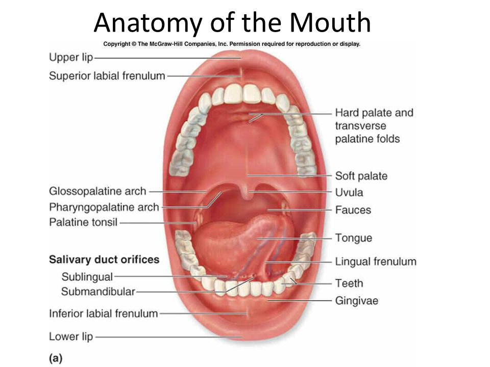 Taste Anatomy Of The Mouth How Taste Works Taste Is A Chemical