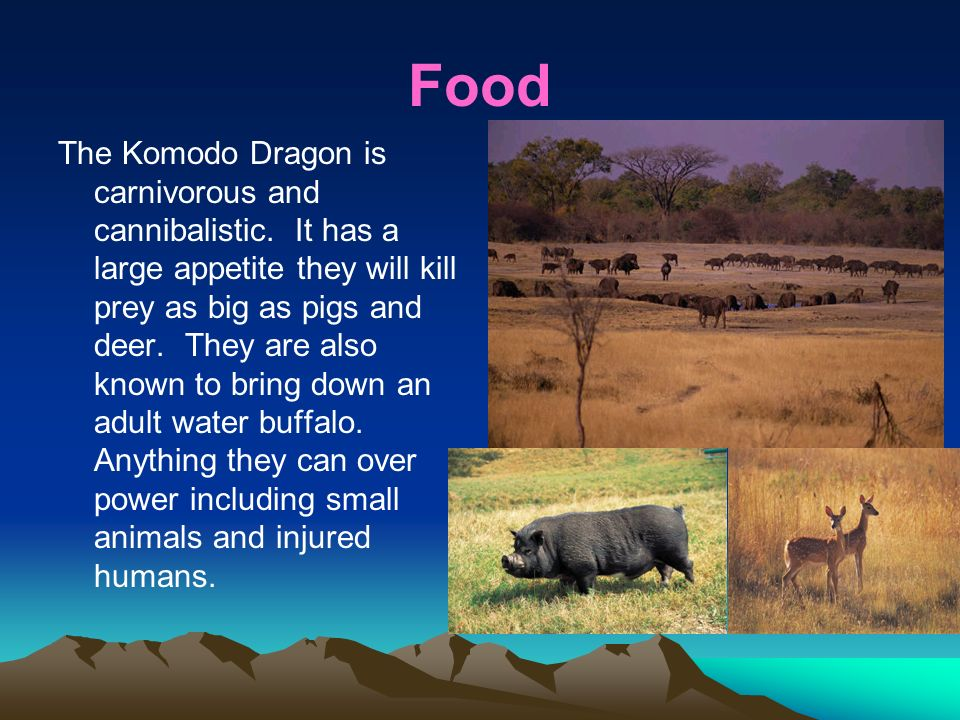 Food The Komodo Dragon is carnivorous and cannibalistic.