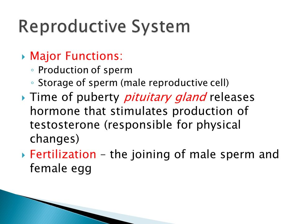  Major Functions: ◦ Production of sperm ◦ Storage of sperm (male reproductive cell)  Time of puberty pituitary gland releases hormone that stimulates production of testosterone (responsible for physical changes)  Fertilization – the joining of male sperm and female egg