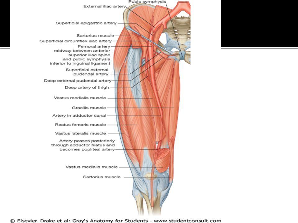 Amazing Popliteal Artery Anatomy Pattern Human Anatomy Images