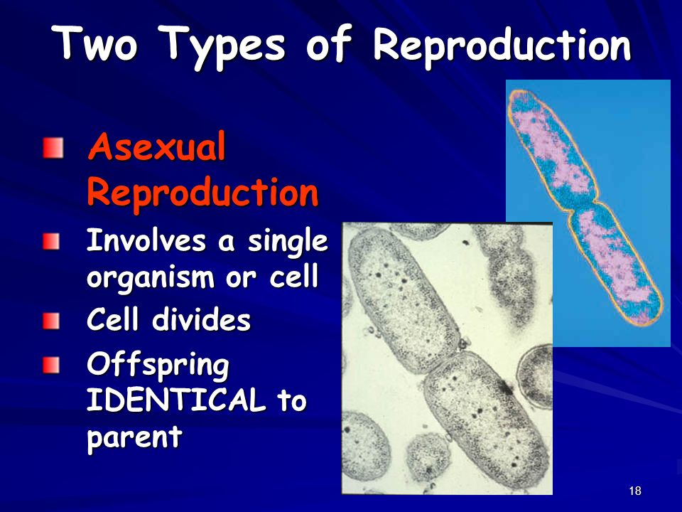 18 Two Types of Reproduction Asexual Reproduction Involves a single organism or cell Cell divides Offspring IDENTICAL to parent